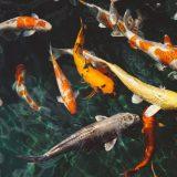 Yamakoshi Economy Selection – fiskefoder af høj kvalitet til billige priser hos Koimad.dk