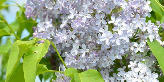 Forskøn din have med en smuk syren færdighæk